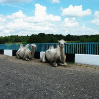 Верблюды на мосту р. Медведица