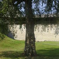 На территории Староладожской крепости. Старая берёза