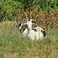 Ериковские козы