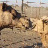 Фуджейра. Верблюжья ферма.