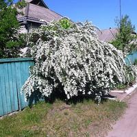 Бірки,цвіте Спірея Вангутта або кущ «наречена»