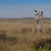 Залевки,кукурудзяне поле під охороною.