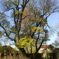 Древы Кривандинского погоста (вяз)