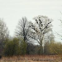 Вороньи гнезда