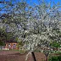 Цвіте яблуня,весна 2012 р.