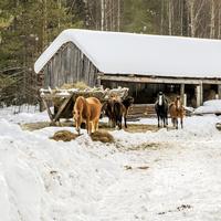 Конюшня местного фермера в с. Спасо-Заозерье Зуевского района Кировской области
