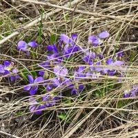 Фиалка сомнительная (лат. Viola ambigua), Восточная окраина
