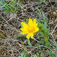 Горицвет, или Адонис (лат. Adonis vernalis)