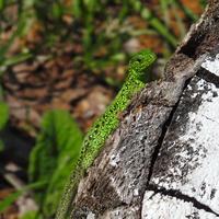 Зелёная ящерица (лат. Lacerta viridis)