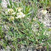 Астрагал белостебельный (лат. Astragalus albicaulis)