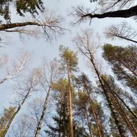 """Апрельский лес в Новоильинске. """"Где сосны рвутся в небо, где быль живёт или небыль..."""