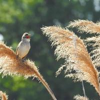 Камышовка дроздовидная (лат. Acrocephalus arundinaceus)