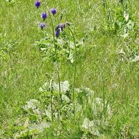 Шалфей поникающий (лат. Salvia nutans)