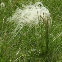 Ковыль перистый (лат. Stipa pennata)