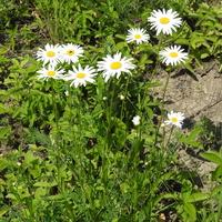 Нивяник обыкновенный (лат. Leucanthemum vulgare)