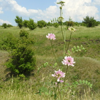 Вязель разноцветный (лат. Coronilla varia)