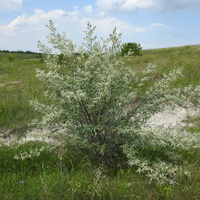 Лох узколистный (лат. Elaeagnus angustifolia)