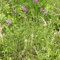 На переднем плане Эспарцет песчаный, или донской (лат. Onobrychis arenaria), на заднем плане Астрагал эспарцетовый (лат. Astragalus onobrychis)