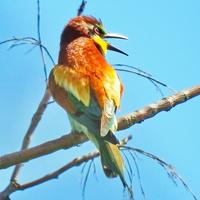 Щурка золотистая  (лат. Merops apiaster)