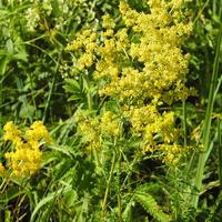 Подмаренник жёлтый (лат. Galium verum)