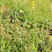 Репешок лекарственный (лат. Agrimonia eupatoria)