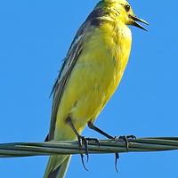 Жёлтая трясогузка (лат. Motacilla flava)