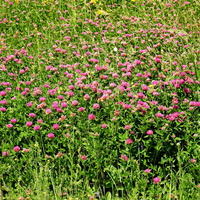 Клевер красный (лат. Trifolium rubens)