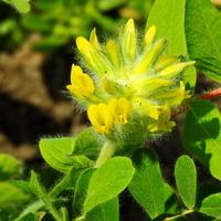 Астрагал шерстистоцветковый (лат. Astragalus dasyanthus)
