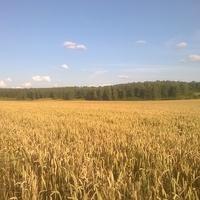 Затишье. Июль 2019 Пшеничное поле