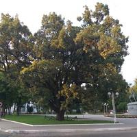 Чере́шчатий дуб на центральному проспекті