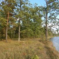На берегу реки Березины, в 3 км от д.Искра, растет много дубов