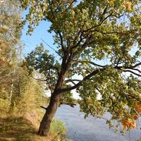 Вековой дуб на берегу Березины (вблизи д. Искра)