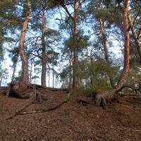 Сосны на берегу Белогорского озера (вблизи д.Искра)
