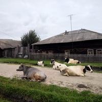 Улица Пионерская, коровы на дороге