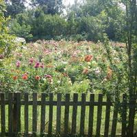 Весь огород - в цветах.