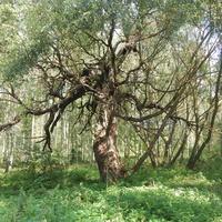 В сельском парке растет дерево необычной формы.