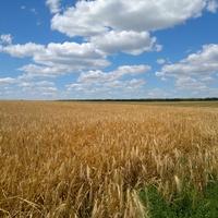 Малигоново. Пшеничное поле в северо-западных окрестностях села