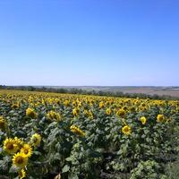 Малигоново. Подсолнуховое поле в западных окрестностях села.
