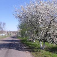 Цветут вишни.