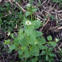 Чесночница черешчатая (лат. Alliaria petiolata)