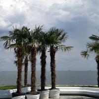 Пальмы набережной Ланжерона.