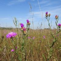Василёк луговой (лат. Centaurea jacea)
