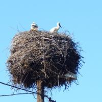 Гнездо аистов крупным планом