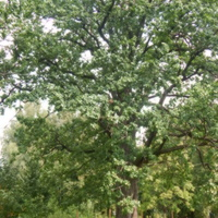 Второй Повалишинский дуб