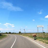 Коровы у дороги в Елькино