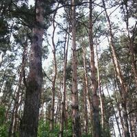 Лес по дороге из д.Прости в д.Макаши