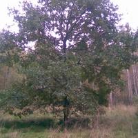сказочный дуб