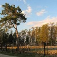 Югра. Берёзово. Древние лиственницы в парке Меньщикова.
