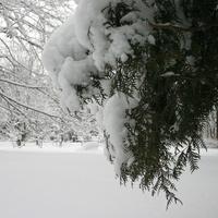 Туя в снегу