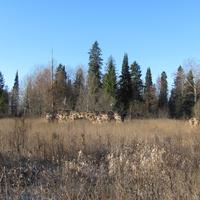 д.Чурилово, осень 2011 г., остатки руин помещичьей усадьбы и пихтовая роща за ними.